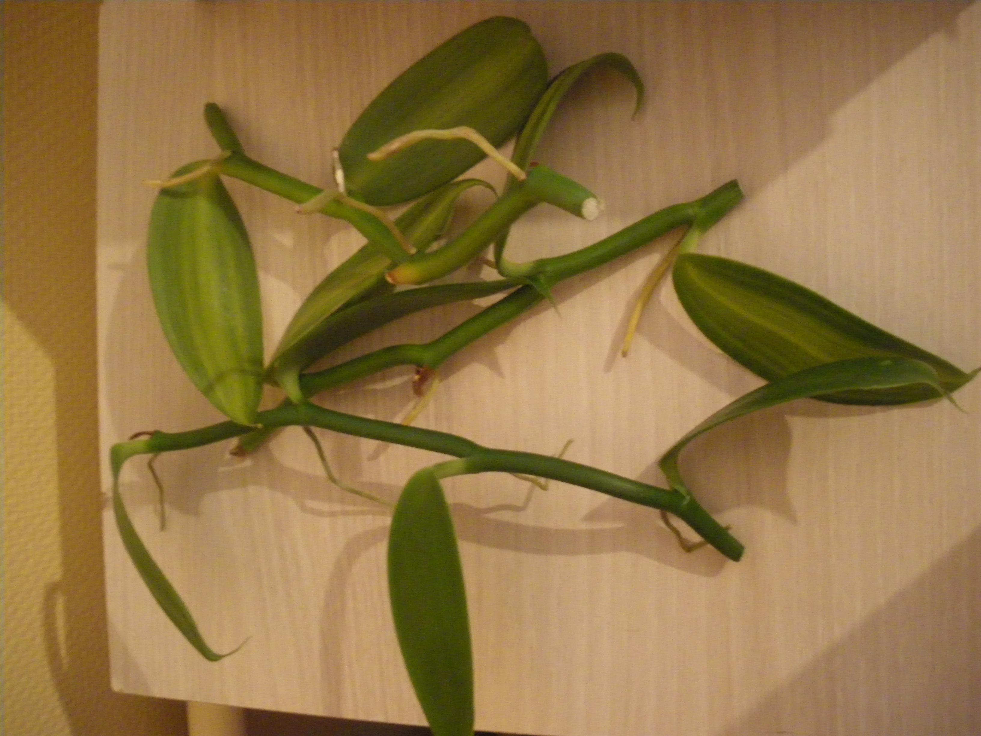 Bouture de vanille tom pousses - Comment planter des jacinthes ...