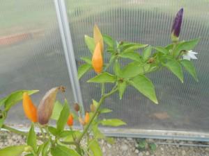 photos2013-317-300x225 poivron orange