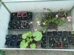 Semis de Zinnia, pastèques et premier pied de courge