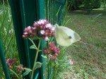 Papillon Citron sur fleur du jardin