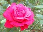 Une rose vraiment magnifique