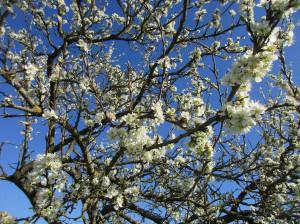 Mirabellier en fleurs